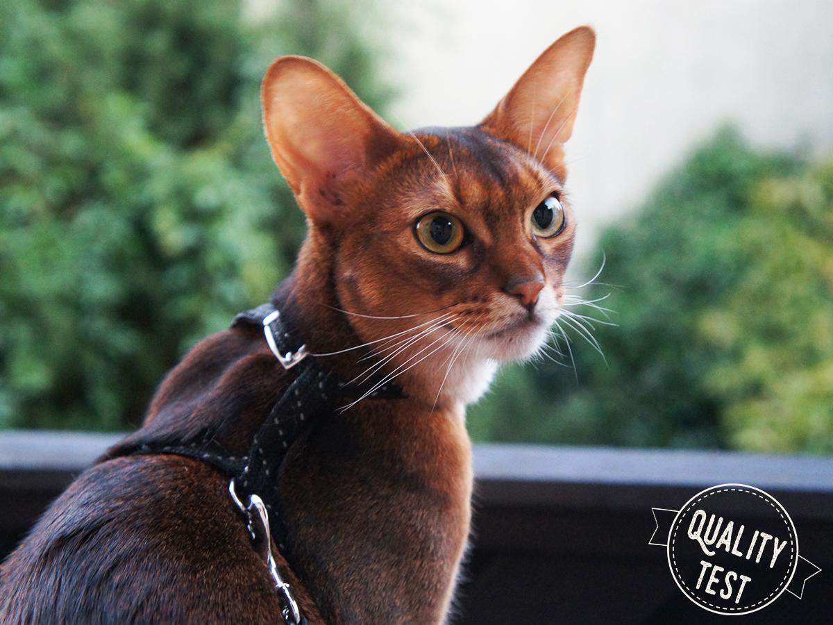 koty abisyńskie 10 - Koty abisyńskie – jaka jest ta rasa?