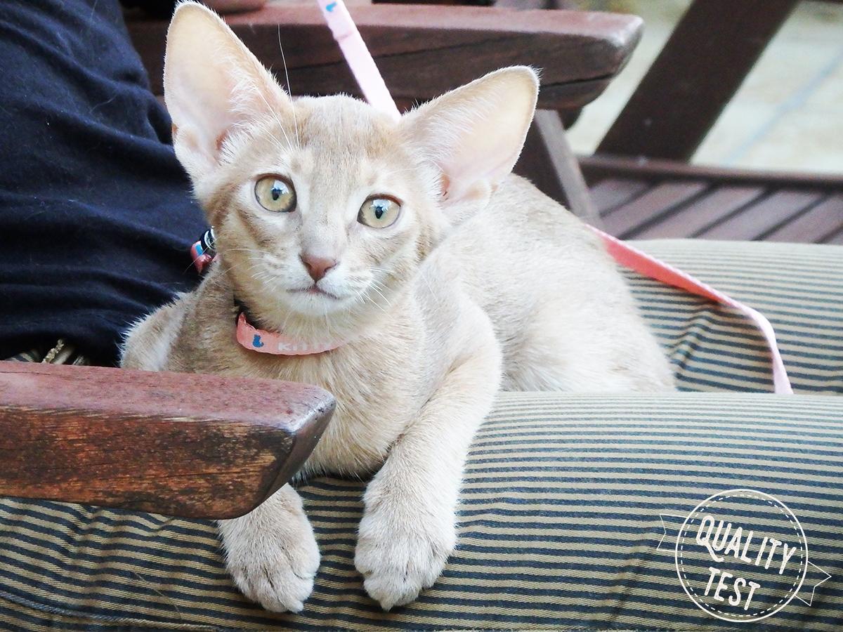 koty abisyńskie 14 - Koty abisyńskie – jaka jest ta rasa?
