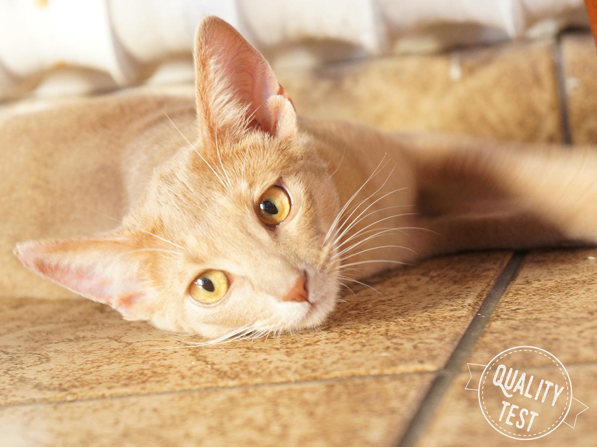 koty abisyńskie 3 - Koty abisyńskie – jaka jest ta rasa?