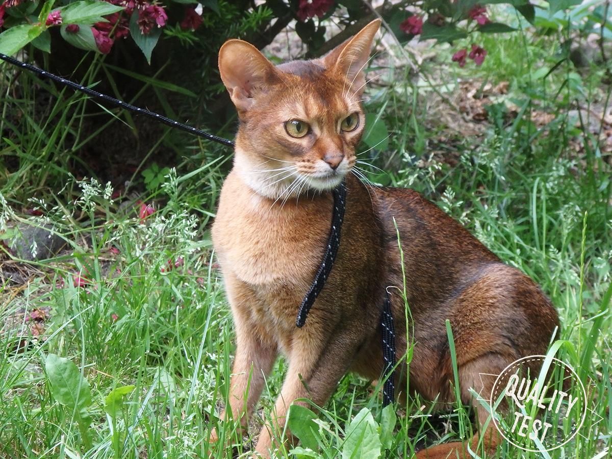 koty abisyńskie 9 - Koty abisyńskie – jaka jest ta rasa?