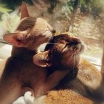 koty abisyńskie glowne 2 150x150 - Rogale świętomarcińskie - 2 kg przyjemności