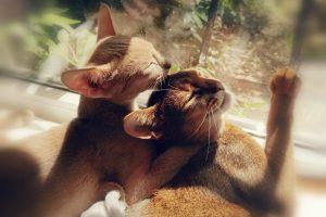 koty abisyńskie glowne 2 300x200 - Koty abisyńskie – jaka jest ta rasa?